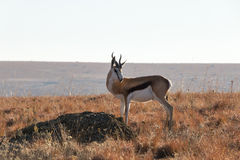 Springbok In Grasslands. A lonely springbok native to southern africa standing alert in an isolated warm dry grassland and mountainous setting looking towards Royalty Free Stock Images