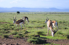 Springbok grazing in a field Royalty Free Stock Image