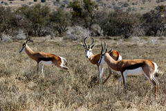 Springbok grazing in the field Stock Photos