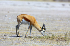 Springbok grazing Royalty Free Stock Images