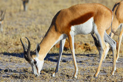 Springbok grazing Stock Images