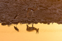Springbok and grey heron with reflections at sunset at waterhole Stock Images