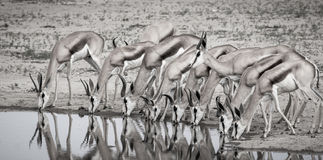 Springbok group at the watering hole. A group of springbok at a watering hole, Nossob Hide, Kgalagadi Transfrontier Park, Botswana Stock Image