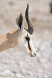 Springbok, headshot Photo libre de droits