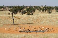 Springbok herd Stock Image