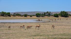 Springbok Herd. A Springbok antelope herd in Southern African savanna Royalty Free Stock Photo