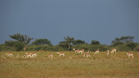 Springbok herd stock video