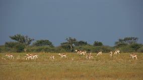 Springbok herd stock video