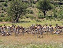 Springbok herd, Antidorcas marsupialis, pasture Kalahari, South Africa. The Springbok herd, Antidorcas marsupialis, pasture Kalahari, South Africa Royalty Free Stock Photo