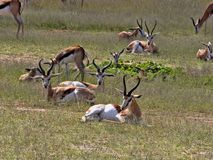 Springbok herd, Antidorcas marsupialis, pasture Kalahari, South Africa. The Springbok herd, Antidorcas marsupialis, pasture Kalahari, South Africa Royalty Free Stock Photography