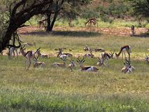 Springbok herd, Antidorcas marsupialis, pasture Kalahari, South Africa. The Springbok herd, Antidorcas marsupialis, pasture Kalahari, South Africa Royalty Free Stock Image
