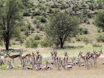 Springbok herd, Antidorcas marsupialis, pasture Kalahari, South Africa. The Springbok herd, Antidorcas marsupialis, pasture Kalahari, South Africa Stock Photo