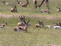 Springbok herd, Antidorcas marsupialis, pasture Kalahari, South Africa. The Springbok herd, Antidorcas marsupialis, pasture Kalahari, South Africa Royalty Free Stock Photos