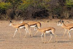Springbok Herd. A herd of springbok in the Auob River valley in the Kgalagadi Transfrontier Park straddling South Africa and Botswana Royalty Free Stock Photo
