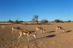 Springbok herd in desert landscape Stock Photo