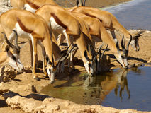 Southern african animals. Springbok herd drinking at Kgalagadi Transfrontier Park Stock Photography