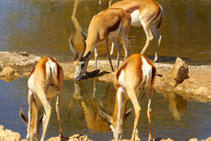 Southern african animals. Springbok herd drinking at Kgalagadi Transfrontier Park Stock Photo