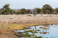 Springbok herd drinking at waterhole in Etosha national park royalty free stock photography