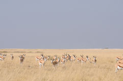 Springbok herd Royalty Free Stock Photo