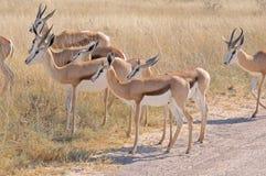 Springbok herd Royalty Free Stock Images