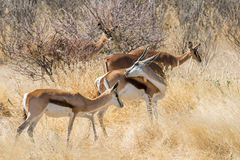 Springbok herd grazing in an african bush in Etosha national park stock photos