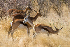 Springbok herd grazing in Etosha national park stock photos