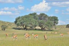 Springbok herd hiding under tree Royalty Free Stock Photo