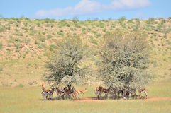 Springbok herd hiding under tree Royalty Free Stock Photography