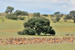 Springbok herd Stock Photo
