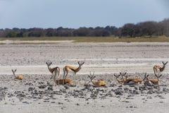 Springbok Herd in Makgadikgadi Pan, Botswana Royalty Free Stock Images