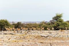 Springbok herd near waterhole in Etosha national park Royalty Free Stock Photos