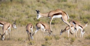 Springbok herd prancing on a plain in the Kgalagadi. Springbok herd prancing happy on a plain in the Kgalagadi royalty free stock photography