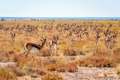 Springbok herd on the savannah of Etosha National Park, Namibia, Africa Stock Photos