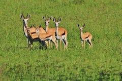 Springbok - het Wildachtergrond - Rustige Vrede stock afbeelding
