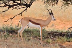 Springbok hiding under tree Stock Images