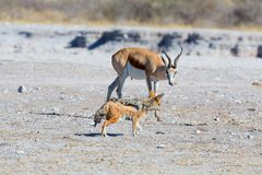 The Springbok and the Jackal Royalty Free Stock Image
