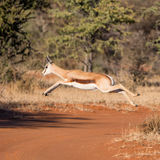Springbok Jumping Royalty Free Stock Photo