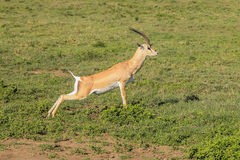 Springbok jumping. A Springbok runs doing jumps in the Serengeti national park in Tanzania, Africa Royalty Free Stock Photos