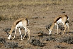 Springbok in the Kalahari Stock Images