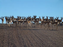 Springbok in the Kalahari Royalty Free Stock Image