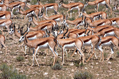 Springbok in Kalahari Royalty Free Stock Photography