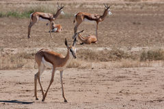 Springbok in Kalahari Royalty Free Stock Photos