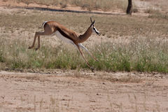 Springbok in Kalahari Stock Photo