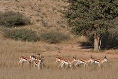 Springbok in Kalahari. Springbok gazelle in the kalahari desert in the Kgalagadi Transfrontier Park in South Africa Stock Photo