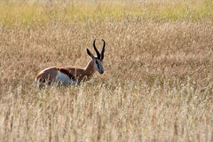 Springbok in Kalahari Royalty Free Stock Image