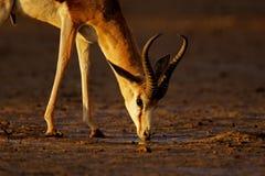 Springbok, Kalahari desert, South Africa Stock Image
