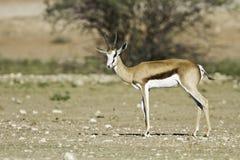 Springbok in the kalahari. On plain in sun watchful Royalty Free Stock Image
