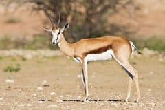Springbok in the kalahari. On plain in sun watchful tree Royalty Free Stock Photo