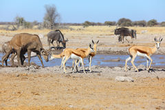 Springbok and kudu at the muddy waterhole Royalty Free Stock Photos