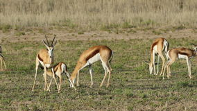 Springbok and lamb stock video footage
